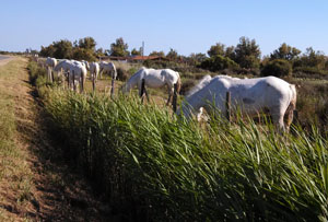 White Horses of La Camargue, France