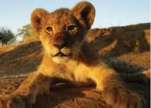 """""""lion_cub_cropped.jpg"""""""