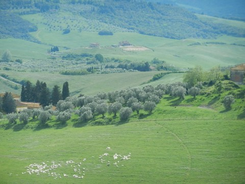 Tuscan Sheep